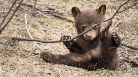 VIDEO | Un pui de urs a pus autoritățile în alertă, la Cozieni