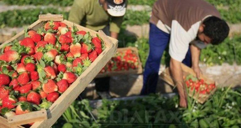 Ofertă de 900 locuri de muncă pentru șomerii buzoieni, la cules de fructe în Spania